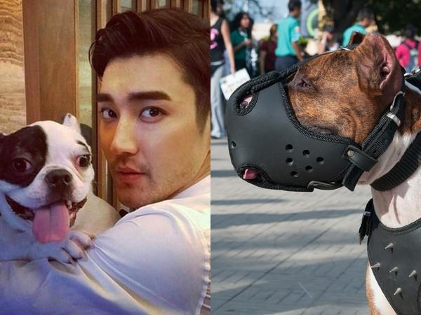 ▲崔始源鬥牛犬咬死人之後 南韓政府擬修法強制狗戴口罩。(圖/翻攝自IG、Pixabay示意圖)