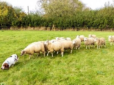 沒發現後面跟了羊群,獵犬牧羊還不自覺:我只是在散步