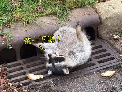 肥到「卡住水溝」,浣熊眼神死大字躺:是這洞太小了啦