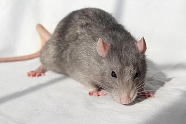 ▲科學家把「迷你腦」植入老鼠頭部,希望有助於研究人類的阿滋海默瘲等腦部疾病。(圖/翻攝自網路)
