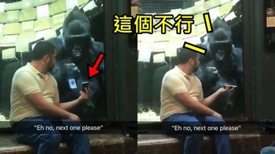 大猩猩遙控手機「往左刷掉tinder妹」 網嘆息:聰明如人也被關