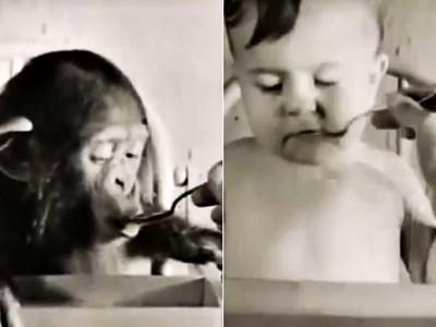 心理學家帶猩猩回家實驗!結果牠表現超越人類,兒子卻開始獸化