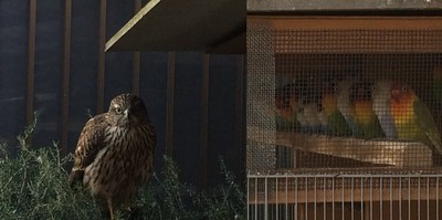 院子整天唧唧吵不停 大黑鷹「霸氣降落」 鳥兒瞬間全石化了