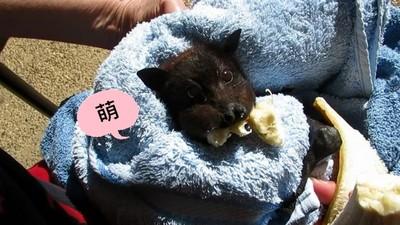 黑嚕嚕狐蝠寶寶被車撞,獲救吃香蕉塞滿小臉頰~(萌)
