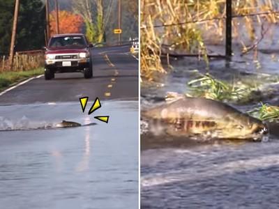 借過要生了!「鮭魚過馬路」洄游生小孩,還被路過狗叼走