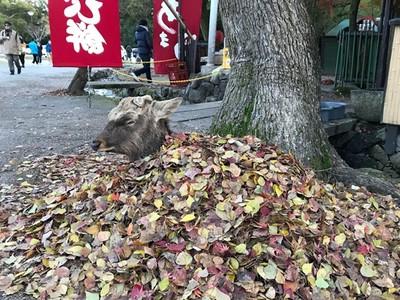 太冷啦!奈良鹿「自己活埋」進落葉堆,要被當地瓜烤啦
