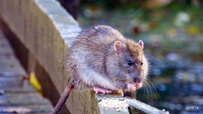 水溝裡有天龍國!老鼠間驚現「階級歧視」 住宅家鼠不屑與鬧區鼠啪