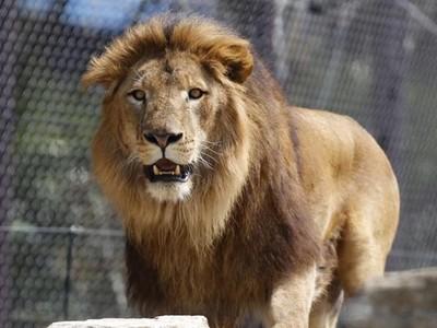 雄獅愛和雄獅啪♂!生殖器貼一起,專家:這算社交行為