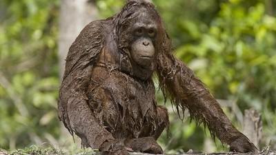哺乳類天生會游泳?殘忍實驗動物丟水裡,結果猩猩沉下去了