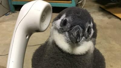 「企鵝專線你好~」日動物園小企鵝搶接電話 下秒攤肚肚塞乃