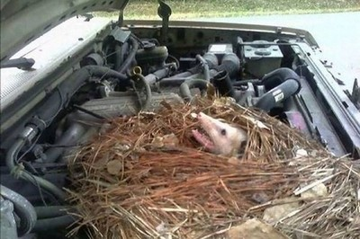 冬天太久沒開車,引擎蓋一掀...負鼠已經築巢啦
