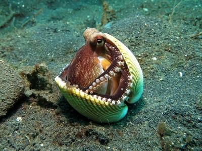 真的吃手手!章魚壓力大會吃自己的腳,如果活夠久早蓋出城市