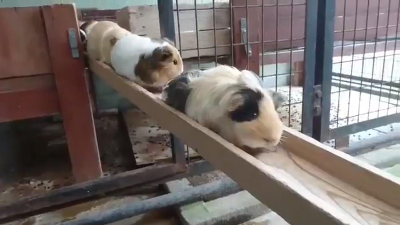▲▼天竺鼠生產線啟動!圓滾毛球排排列隊 出門玩囉~(圖/翻攝自Twitter)