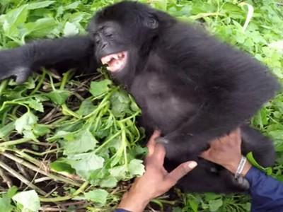 槍口下倖存!保育員搔胳肢窩解心防 小猩猩孤兒破涕為笑