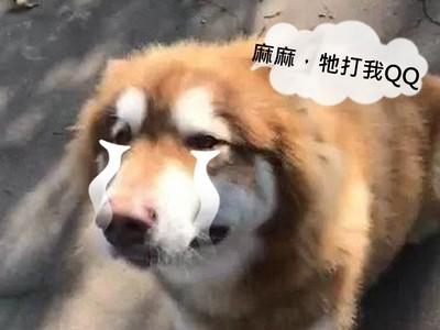 阿拉斯加犬被小貴賓犬呼兩巴掌,強忍堅強走遠後才哭到全身抖