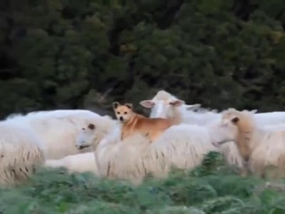 老闆你看牠!牧羊犬爽趴羊背打呵欠 羊群自己牧自己