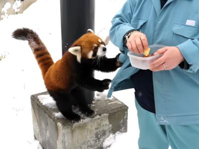 小貓熊被餵食「勾勾纏討抱抱」!大雪中蓬鬆毛球,好想狠狠抱緊牠