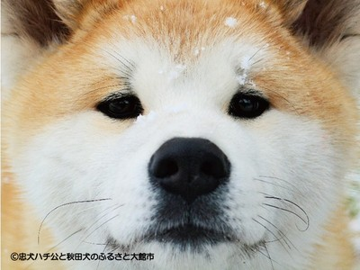 免費下載秋田犬月曆!秋田縣政府超慷慨:因為是狗年嘛