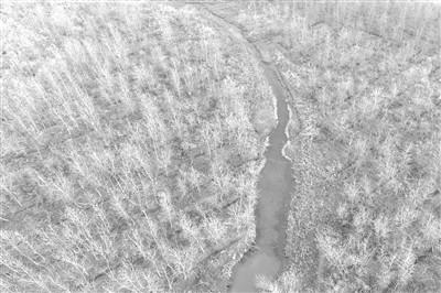 洞庭湖狂砍300萬棵「歐美黑楊」