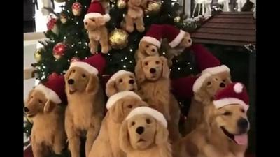 有一隻是真的!黃金亂入聖誕裝飾,一片狗海只有牠呆吐舌