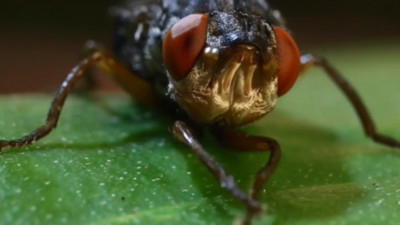 皮膚裡養蛆!人膚蠅「撐破毛孔爬出」,科學家自拍被寄生過程..