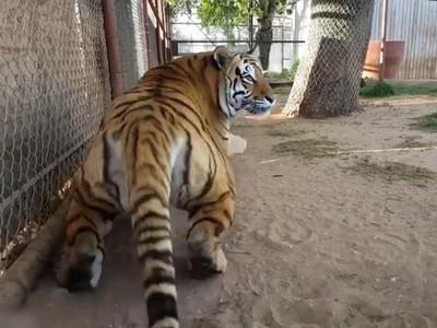 嗨虎哥!從背後打招呼,老虎「嚇到彈起來」驚恐回頭