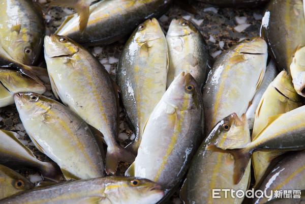 高體鰤,杜氏鰤,紅甘鰺,紅甘,紅魽,魚類,海洋,漁獲,漁業,過度捕撈(圖/記者季相儒攝)