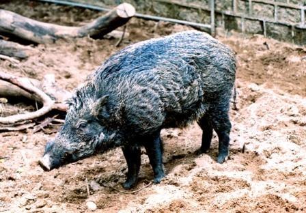 ▲▼香港有許多野豬。(圖/翻攝自香港漁護署)