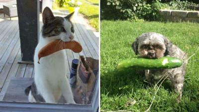 寵物愛叼「奇葩禮物」孝敬主人!欸欸別去鄰居家偷香腸啦(笑