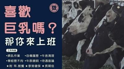 徵才廣告「喜歡巨乳嗎?」百人來搶 牧場老闆:果然找到擠奶奇才