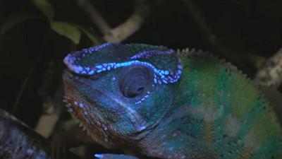 變色龍紫外光下驚現「龍紋呼吸燈」 德學者:是與同類通風報信