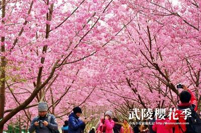 2019武陵農場櫻花季11/1開放訂房