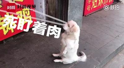 小胖狗坐肉攤前緊盯 老闆難招架