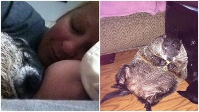 土撥鼠曝曬後院3天,救回後超愛討抱+陪睡..誰捨得起床啦