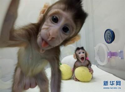 大陸成功複製猴子!取名「中中華華」