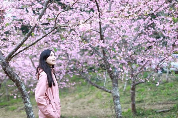 ▲▼高雄藤枝櫻花公園櫻花開了。(圖/IG@mearachao提供,請勿隨意翻拍,以免侵權。)