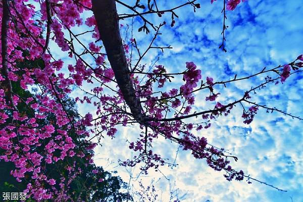 ▲▼高雄藤枝櫻花公園櫻花開了。(圖/張國發提供,請勿隨意翻拍,以免侵權。)