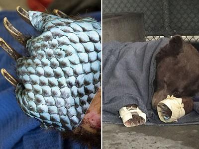 肉墊被燒傷!獸醫替大熊貼上「魚皮繃帶」 但不怕牠啃掉嗎?