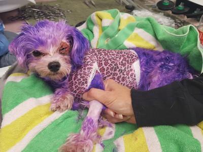 被染髮劑漂成全身紫 瑪爾皮爛灼傷…主人:因為牠叫紫羅蘭呀