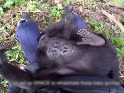 目睹雙親遭盜獵者爆頭 猩猩寶寶被當寵物賣,現在笑得令人心痛