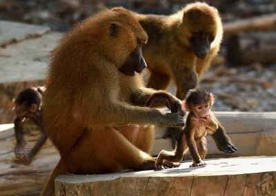 狒狒蹺家失敗! 動物園重新開放
