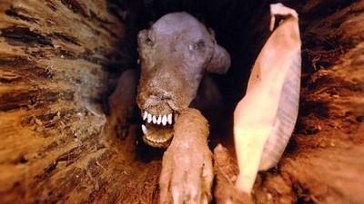 鋸木驚見整隻「木乃伊犬」 呲牙咧嘴訴說著五十年來的囚禁