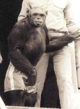 ▲▼黑猩猩奧利佛(oliver the chimpanzee)曾被懷疑是人類與猩猩混種,DNA證明他不帶有人類基因。(圖/翻攝自維基百科)