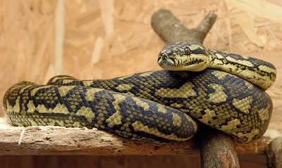 14歲兒遭蟒蛇纏身 「鴨嘴獸」救他