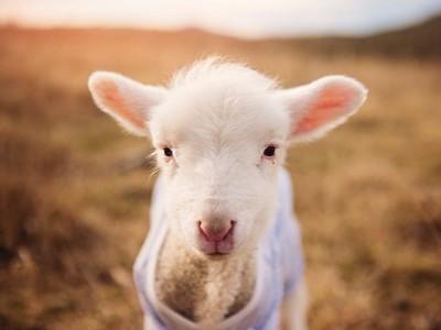 夢到羊會有好事發生?要先看你夢到幾隻
