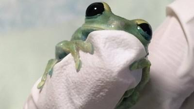 蛙兒子4ni!碧綠小樹蛙乖乖趴指尖 圓滾大眼啾咪賣萌