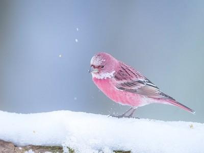 在雪地綻放的粉色薔薇!「北朱雀」超稀有看到了可提升戀愛運?