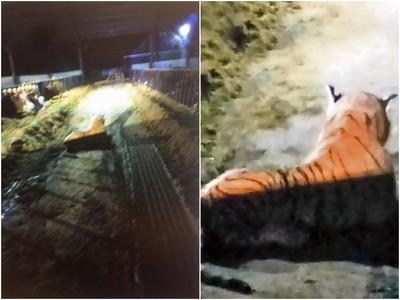 農夫報案「老虎闖進家門」 警方持槍對峙45分鐘...走近忍不住飆罵