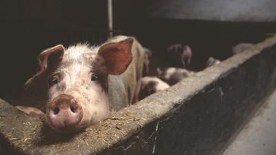 俄農婦成豬飼料 遭啃食失血身亡