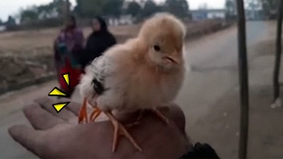 印度「四腳小雞」意外被當神,村民喊高價:5000盧比跟你買